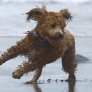 - Det finnes ingen hunder som erallergivennlige
