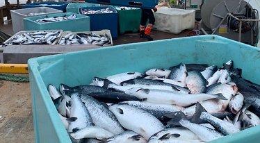 Dødsalgen tok 800.000 fisker: Starter «desperat» evakuering