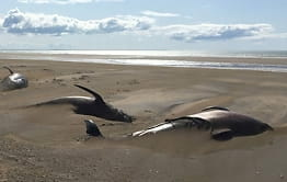 Island: 50 hvaler strandet
