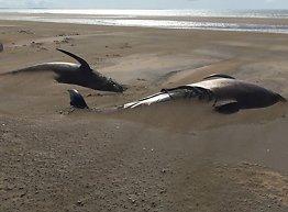 50 hvaler strandet