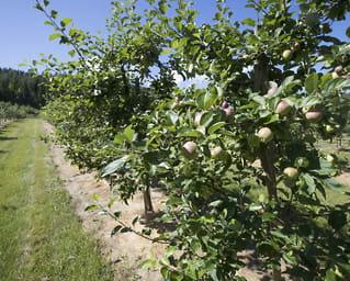 Nå kommer de norske eplene og plommene