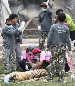 86 tigre døde av sykdom